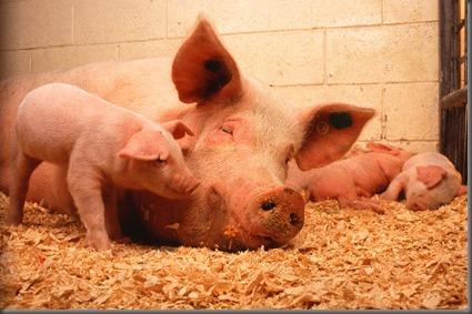 PIG USDA